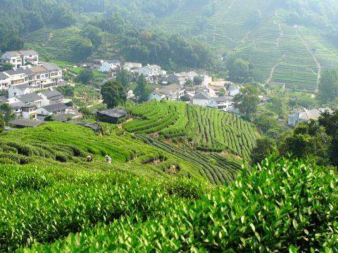 龙井村一座座山头种满茶树,养活不少茶农家庭。